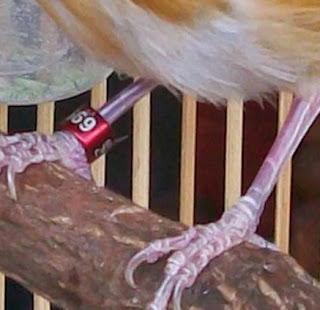 Burung Kenari - Solusi Penangkaran Burung Kenari -  Kode Ring Kenari Import Pada Negara Grece