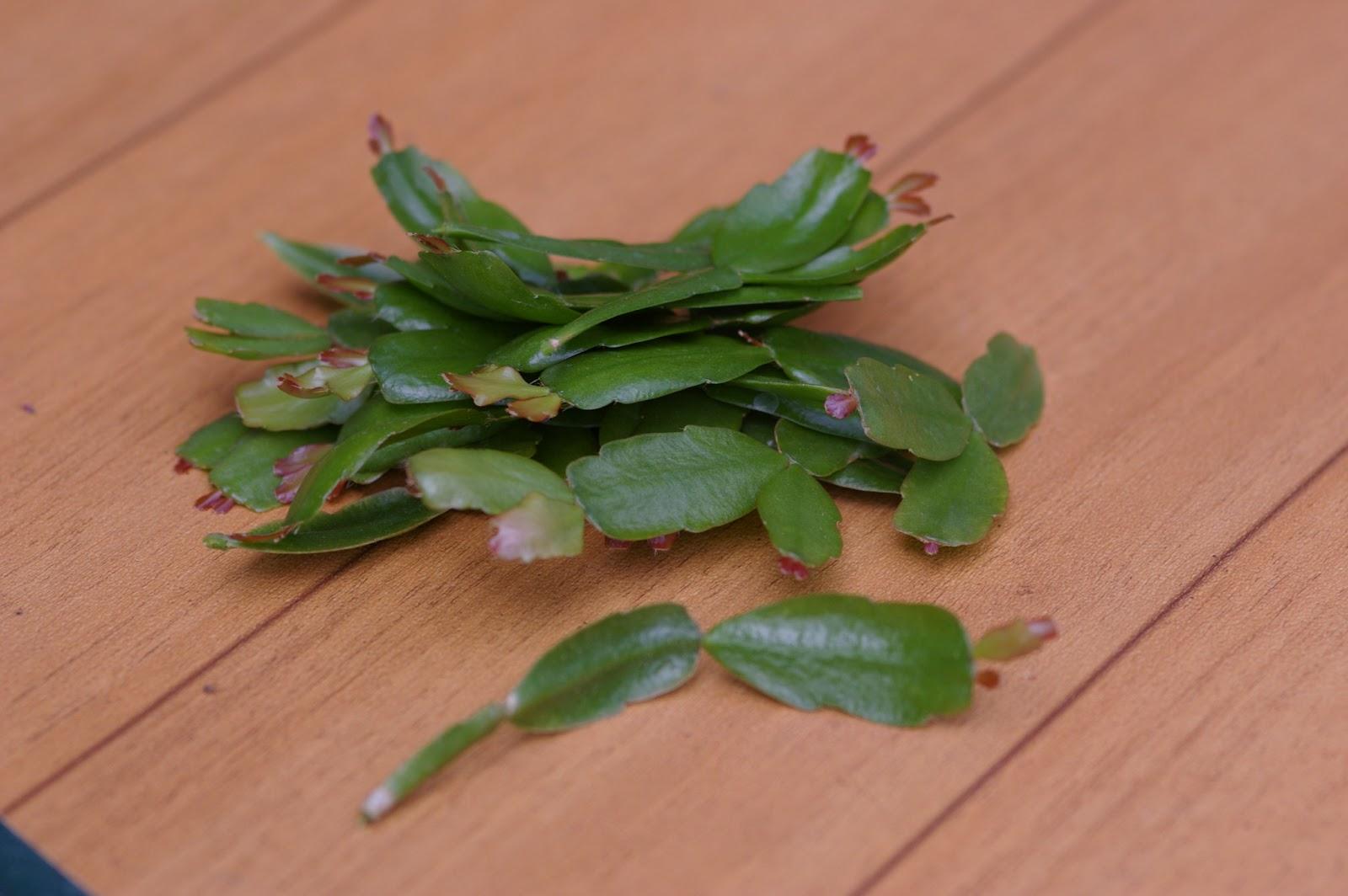 Vita: Christmas Cactus Cuttings