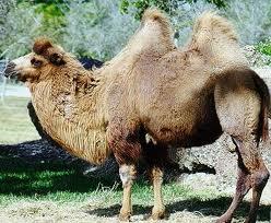 Que significa soñar con camellos