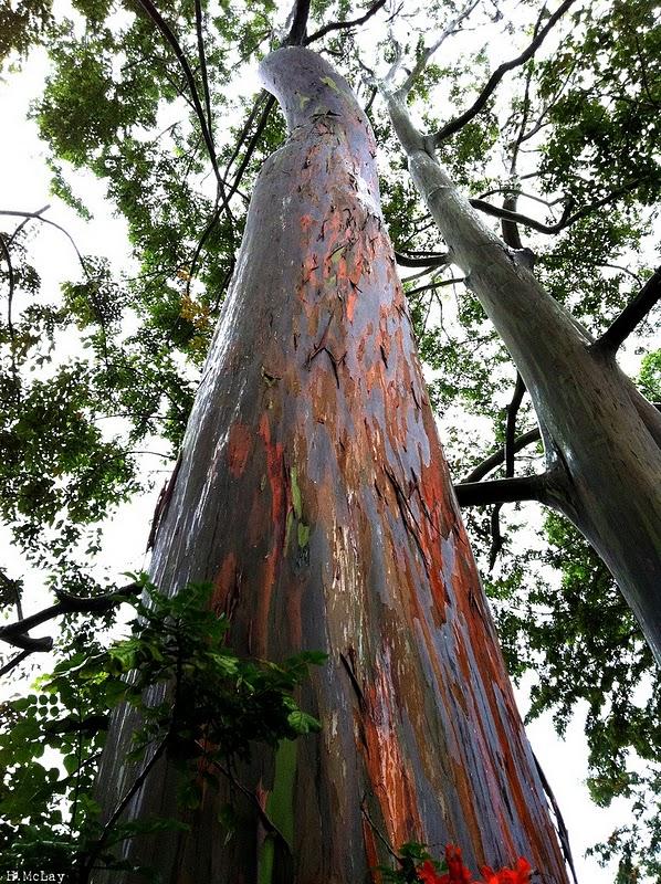 شجرة ذو الوان طبيعية مبهرة rainbow-eucalyptus-7