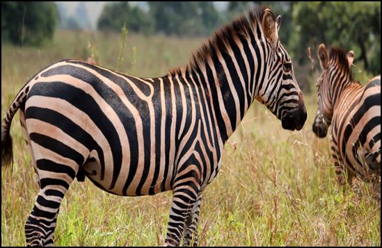 Terkuaknya Misteri Warna Belang Pada Zebra