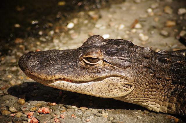 Crocodile head free picture