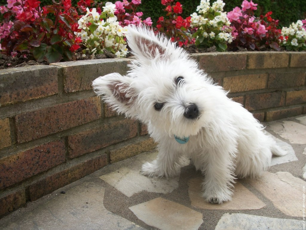 Mascotapetit perro west highland white terrier - Pictures of westie dogs ...