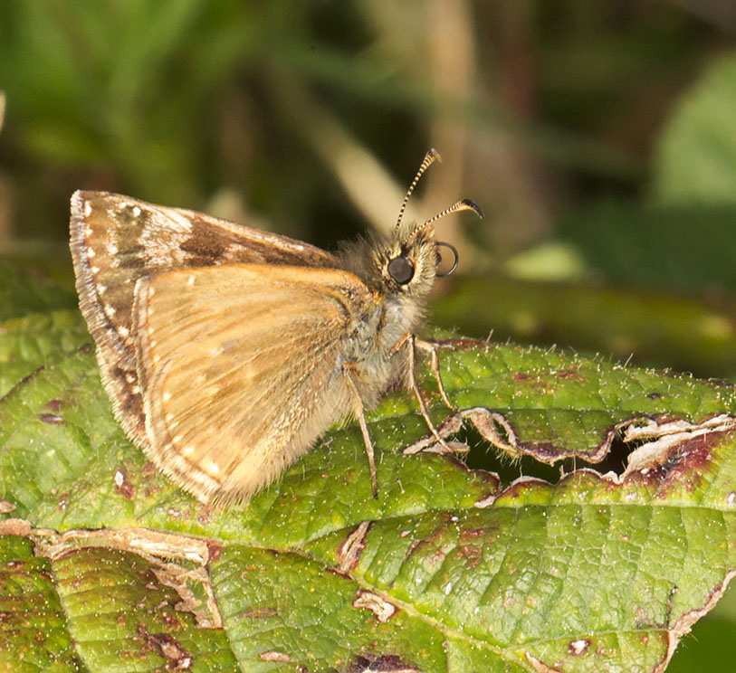 Dingy Skipper, Erynnis tages.  Burnt Gorse, High Elms Country Park, 5 May 2014.