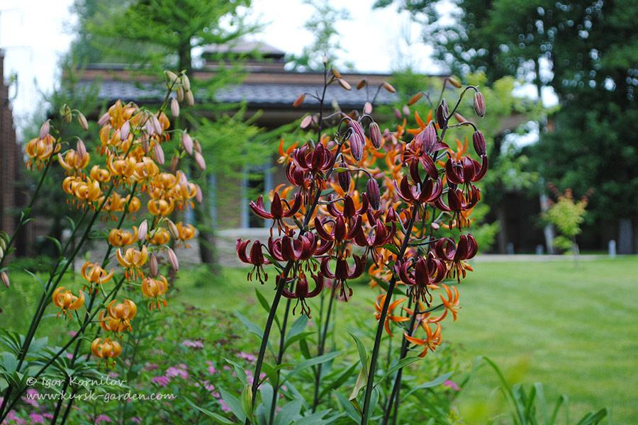 Лилии-мартагоны в саду
