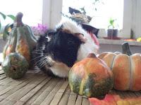 www.meerschweinchenverstehen.de - Rosettenmeerschweinchen Muck im Oktober 2014