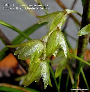 Pleurothallis barbacenensis, Arthrosia barbacenensis, Acianthera hygrophila, microorquidea