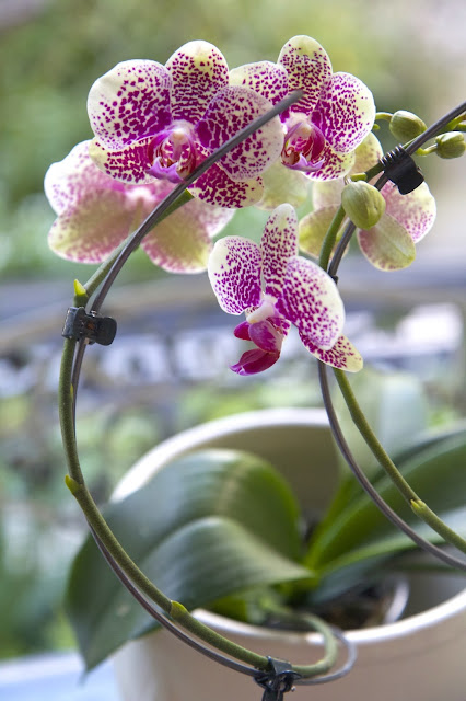 Bend the stakes for curved orchid look; How to Landscape an Orchid; Nora's Nest