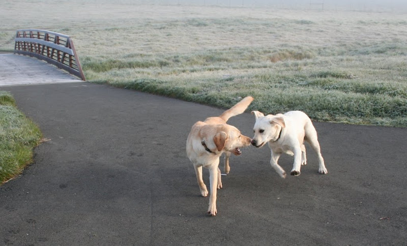 cabana playing head to head with an almost white yellow labrador