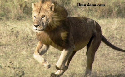 singa hewan cepat