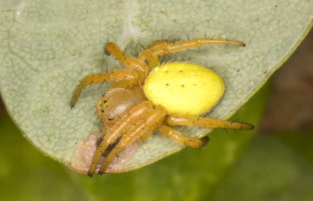 Araniella species.  Araneidae.  West Wickham Common, 23 September 2015