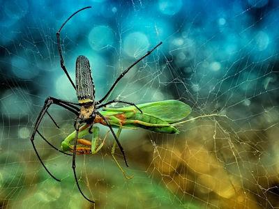Araña comiéndose una deliciosa mantis religiosa