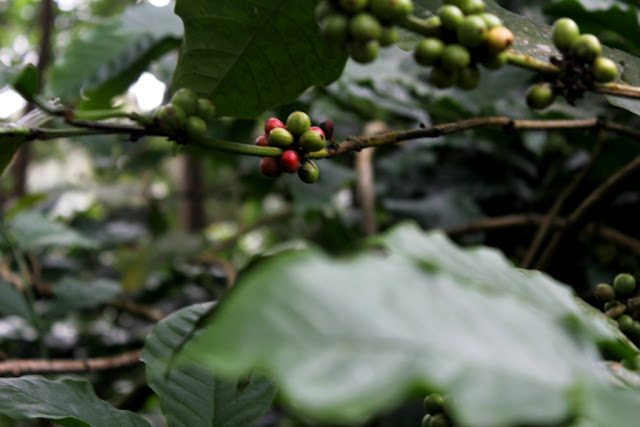 Green and Red coffee beans