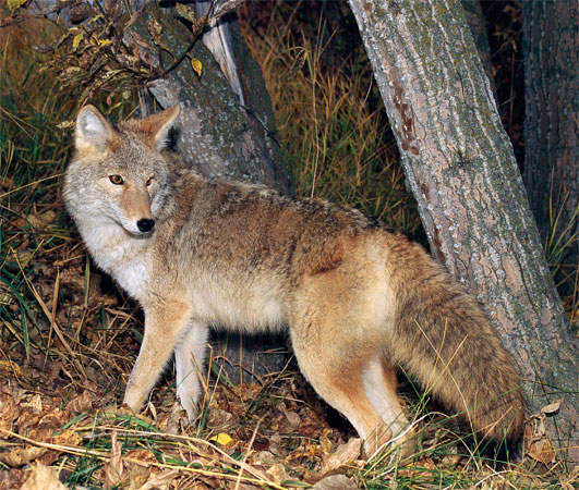 What Does Coyote Look Like