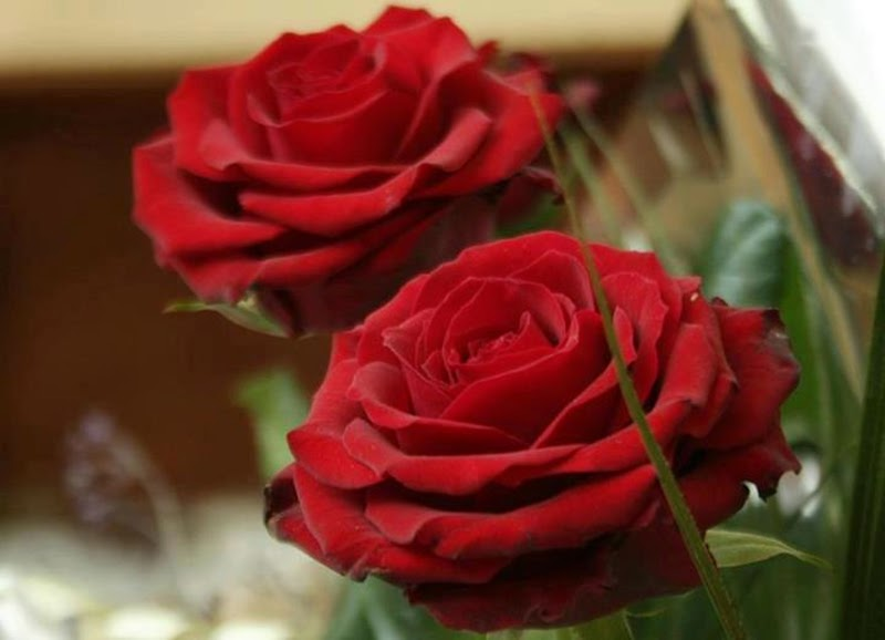 Stylish Pair of Red Rose Flowers Images Wallpapers Gift for Lovers