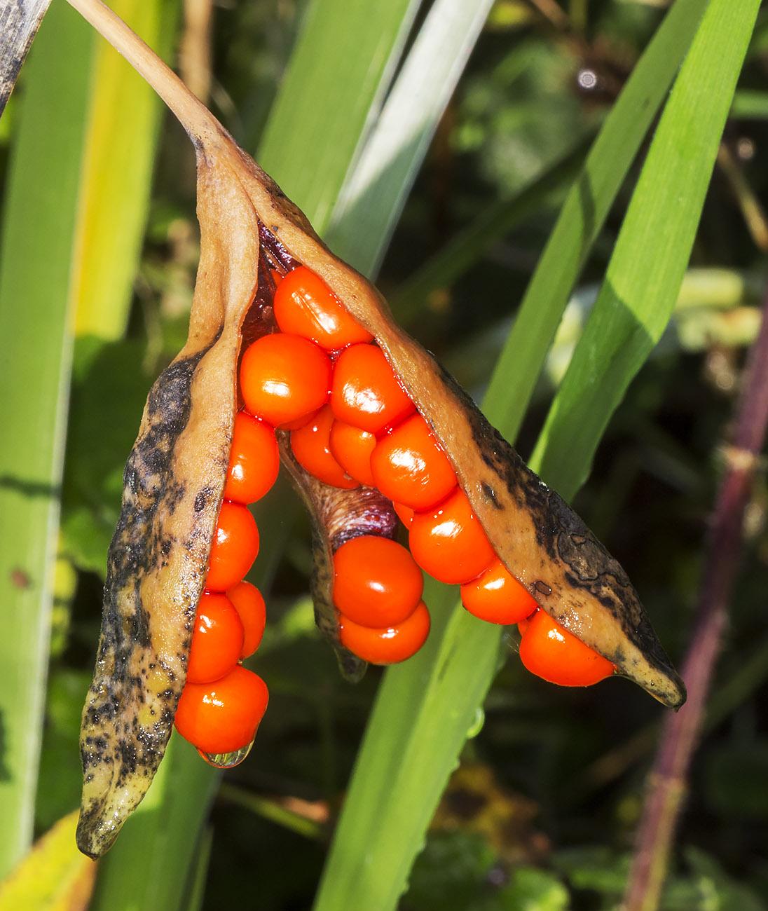 Seed pod of Stinking Iris, Iris foetidissima.  Sevenoaks Wildlife Reserve, 4 November 2014.