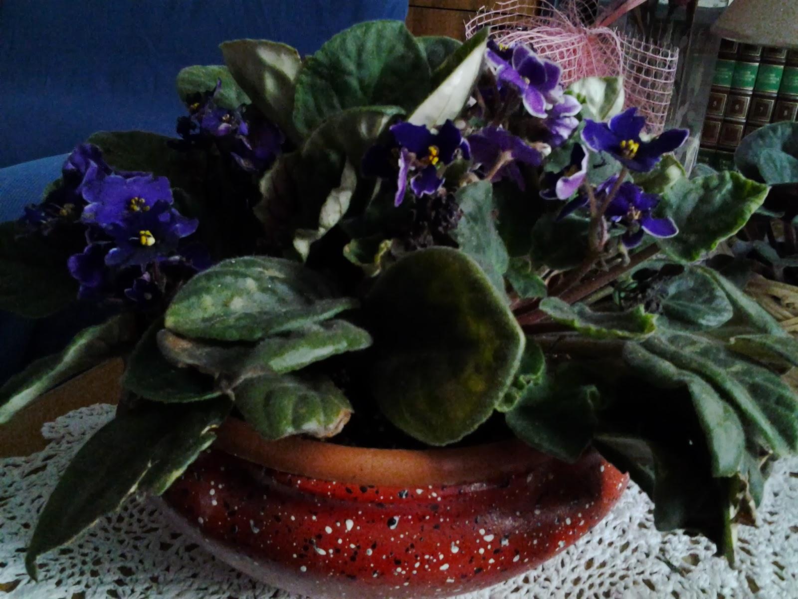 Il mondo di maruska la mia violetta africana for Violetta africana