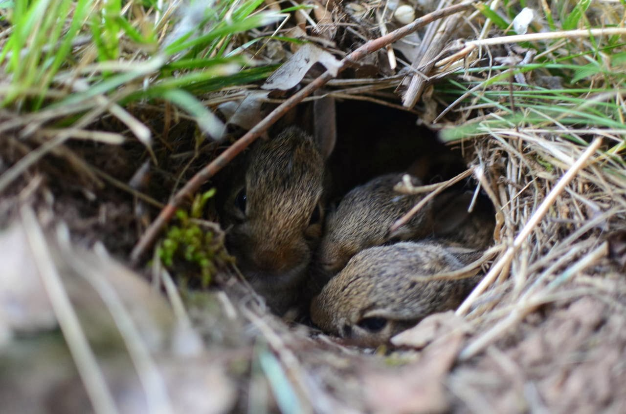 Funny animals of the week - 7 February 2014 (40 pics), three cute bunnies in their nest