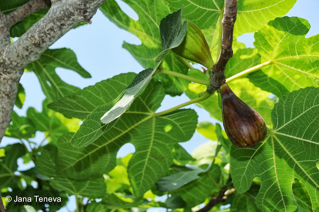 Fig tree in Sardinia