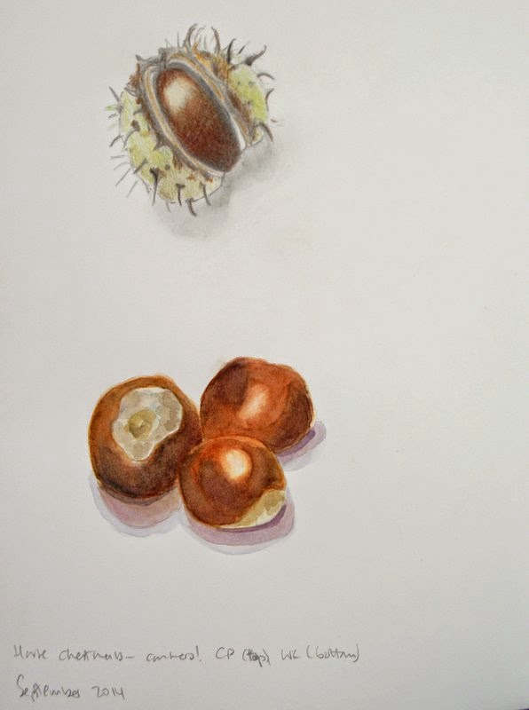 Horse chestnut conkers drawings