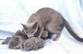 Russian blue cats and kittens russian blue breeders all over