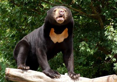 Sun Bear (Helarctos malayanus).