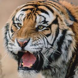 gambar singa, harimau, macan