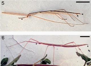 http://sciencythoughts.blogspot.co.uk/2013/06/a-new-species-of-stick-insect-from.html