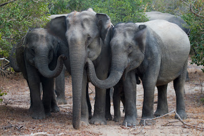 The sub-adults of the Elephant herd