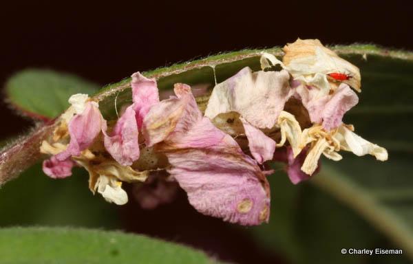 Mature insect post metamorphasis