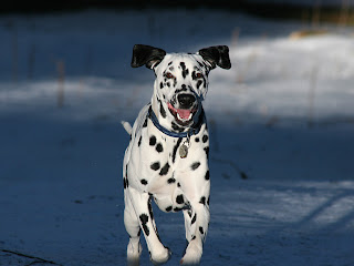Dalmatians Wallpapers