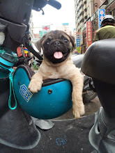 pug in a helmet