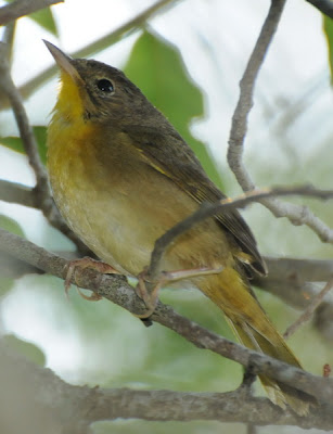 Northern Parula (Parula americana)