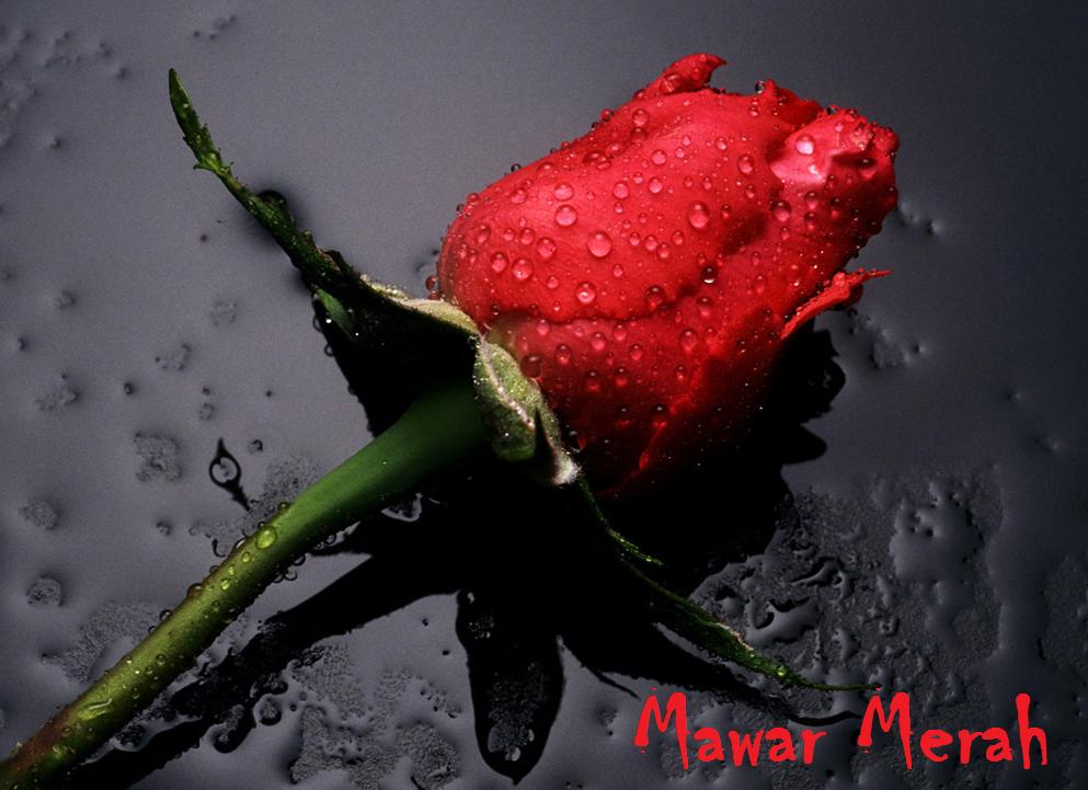 Bunga-Mawar-Merah png ...