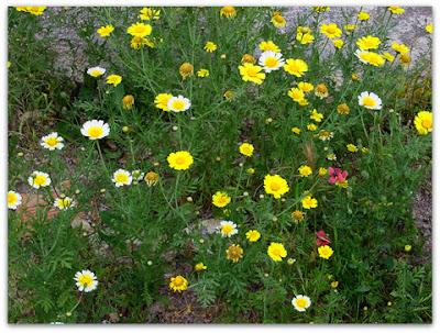 flores silvestres, margaritas