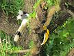 Great hornbill