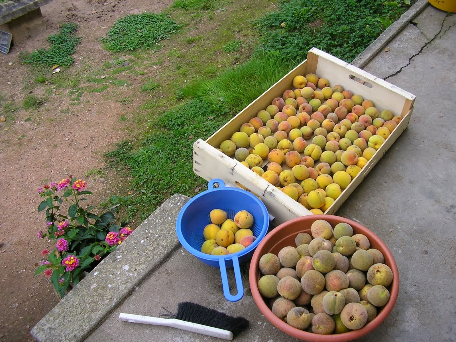 O.a .oud perzikenras; wijnperziken.