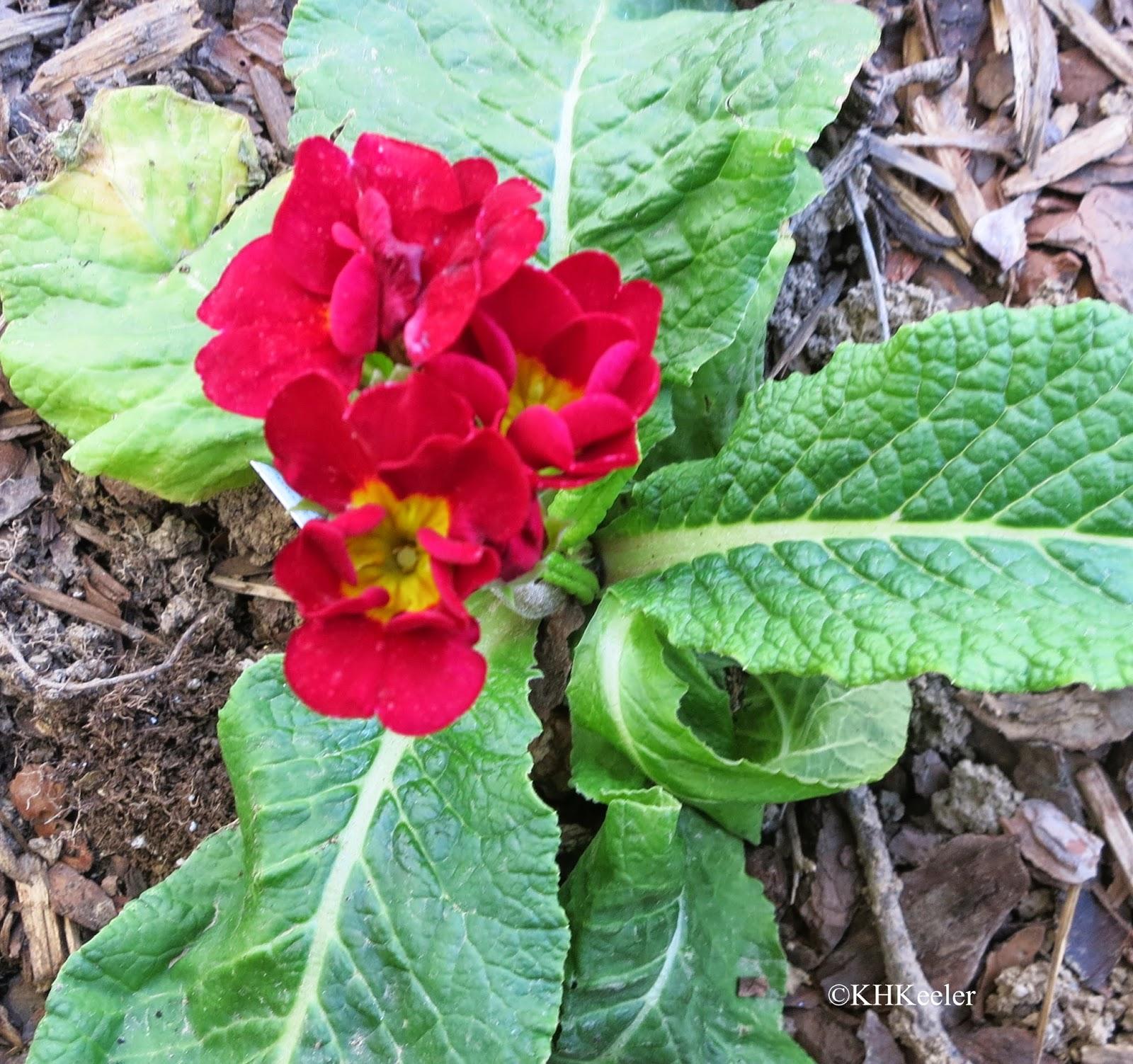 primrose, Primula