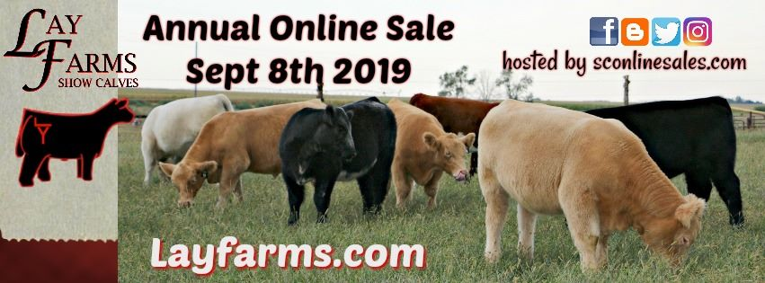 Lay Farms Show Calves
