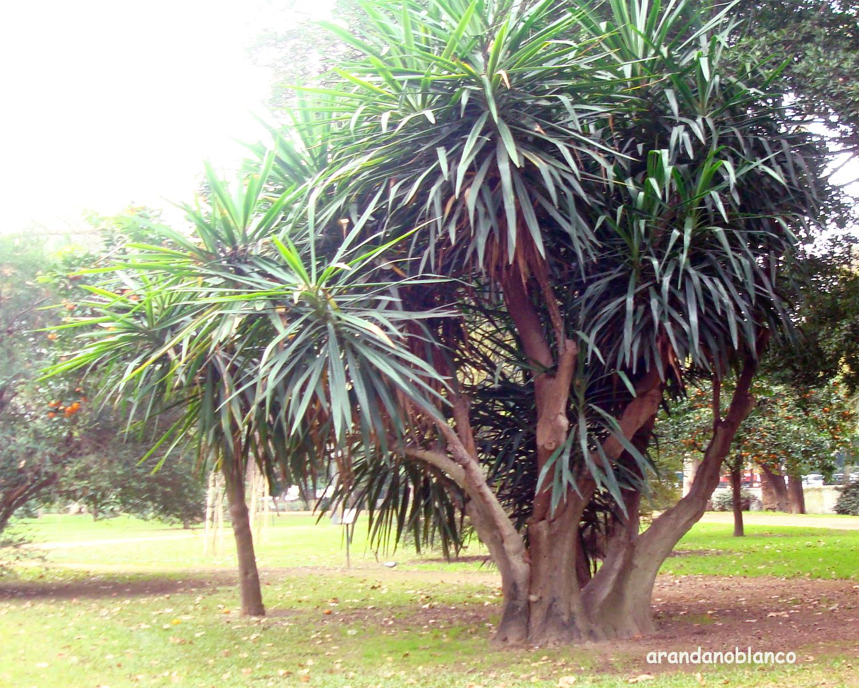 Planta yuca cuidados amazing with planta yuca cuidados - Yucca elephantipes cuidados ...