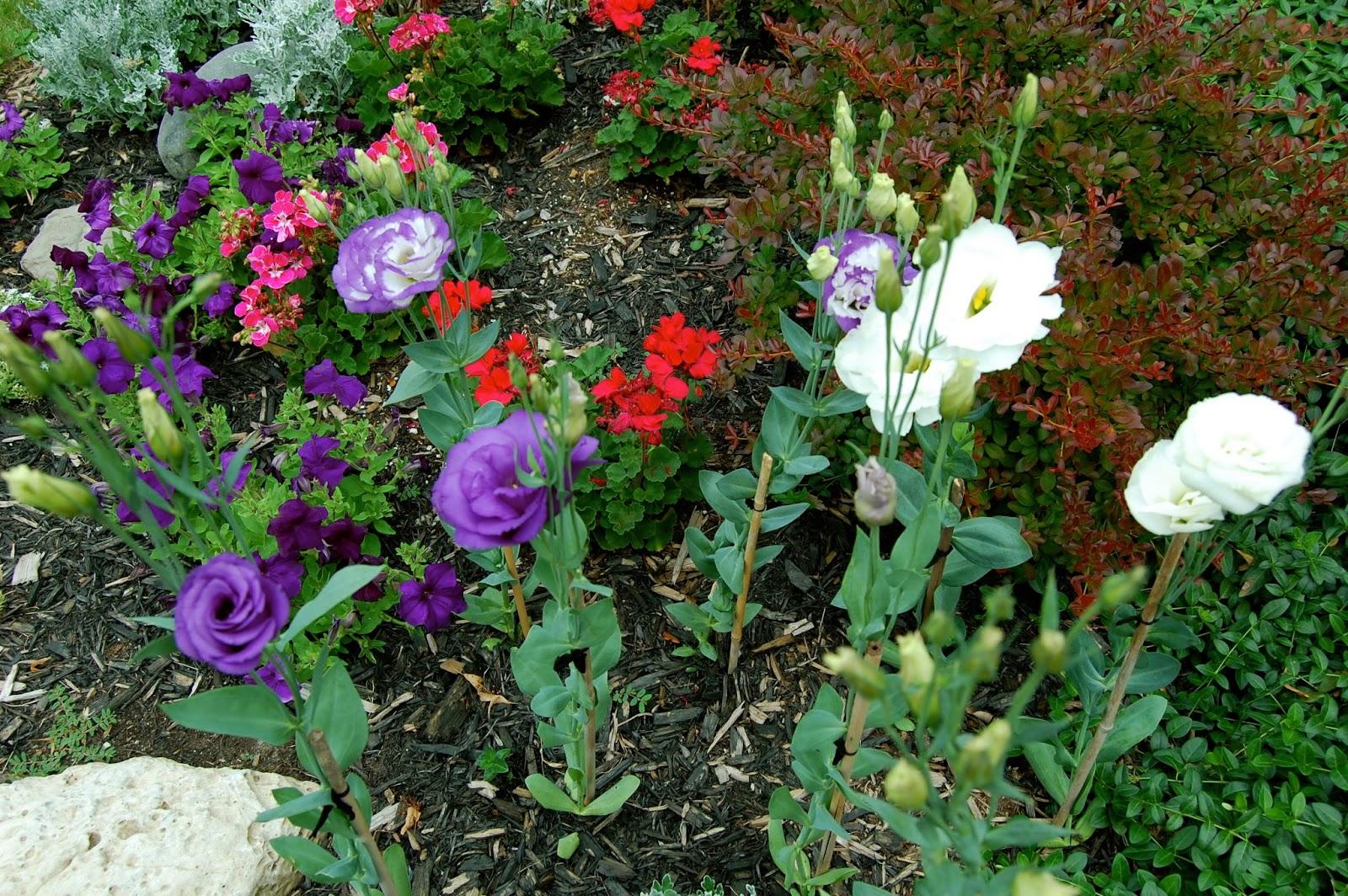 Эустома многолетняя посадка и уход, фото цветов 44