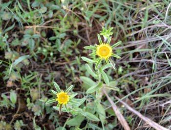 Pallenis spinosa (Asterisco spinoso)