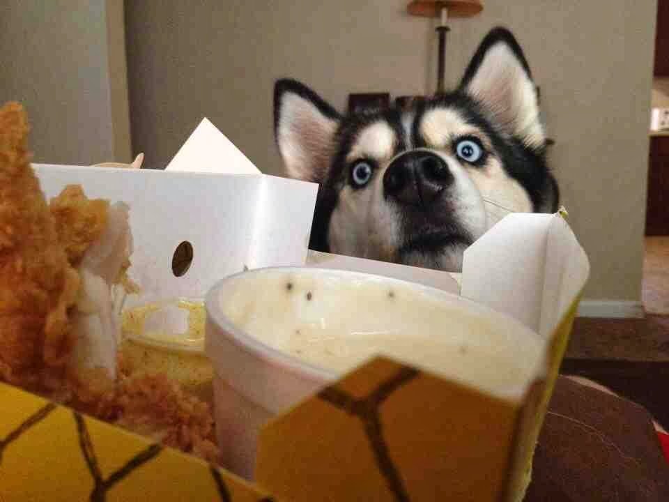 Cute dogs - part 7 (50 pics), husky dog wants human food