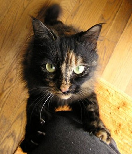Black Calico Cat My Top Collection: Cal...
