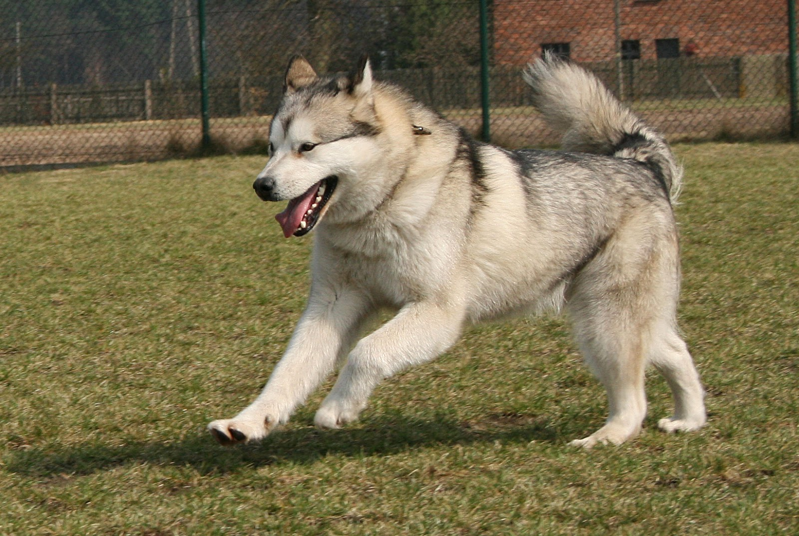 Alaskan Malamute Playing high resolution