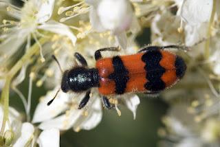 Para ampliar Trichodes apiarius (escarabajo ajedrezado) hacer clic