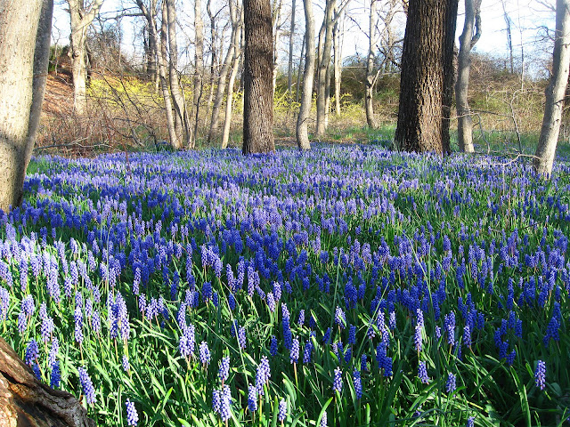 Grape-Hyacinths-in-Farmingdale-2009