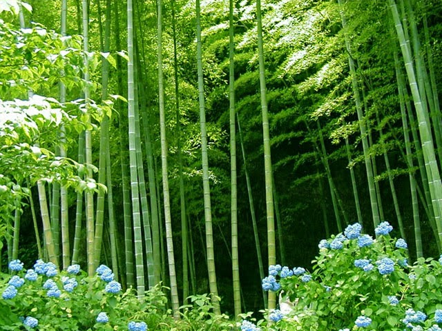 Beautiful grown bamboos in the forest