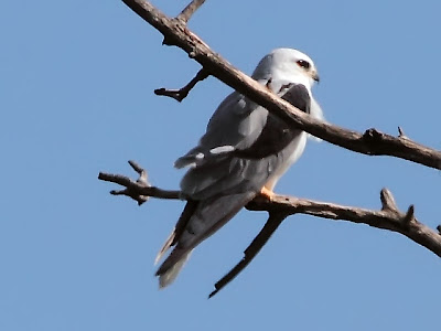 Wisconsin White-tailed Kite