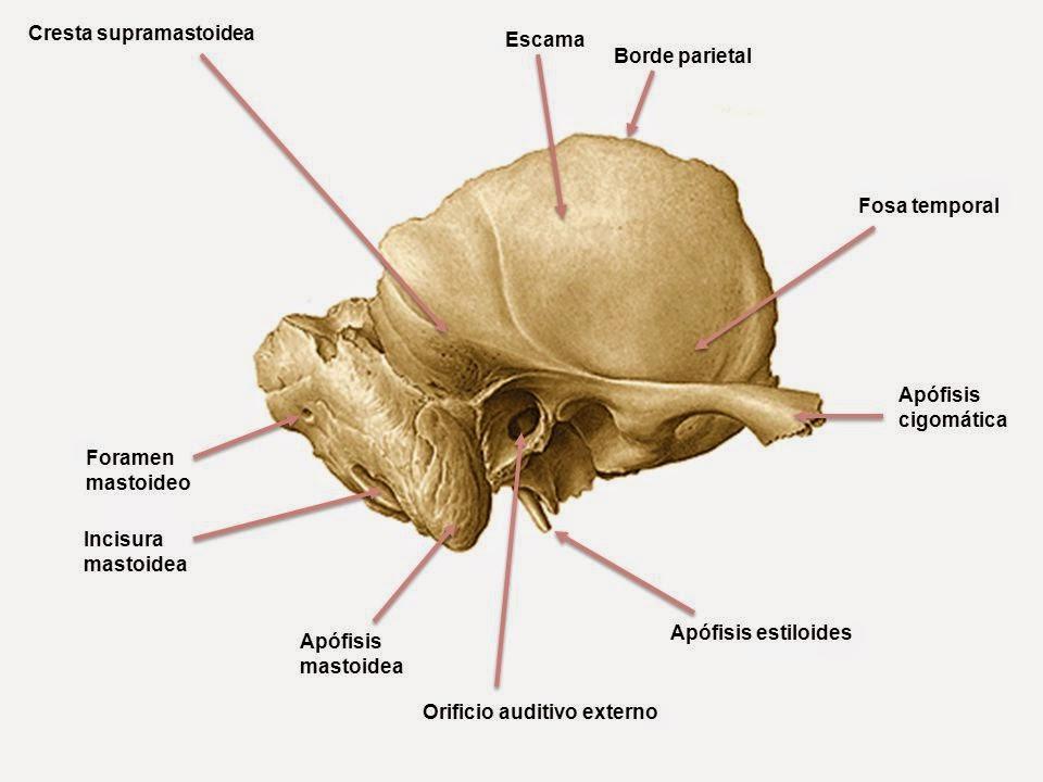 Morfofunción: Cabeza y cuello: Temporal